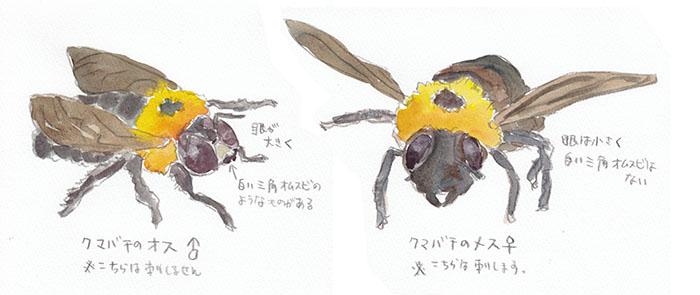 クマバチの画像 p1_9